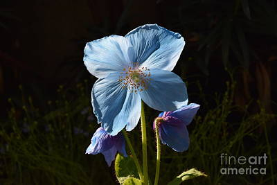 Photograph - Blue Poppy by Jeannie Rhode