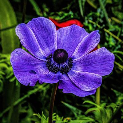Photograph - Blue Poppy by Nick Zelinsky