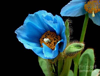 Blue Poppy Art Print by Robert Nankervis