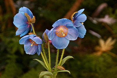 Photograph - Blue Poppy Splendor by Byron Varvarigos
