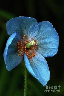 Photograph - Blue Poppy Vertical by Cindy Manero