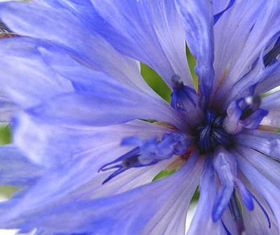 Photograph - Blue Princess by Rhonda Barrett