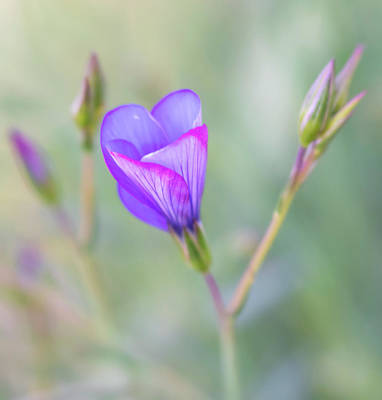 Photograph - Blue-purple Flax Wildflower About To Open by Barbara Rogers Nature Inspired Art Photography