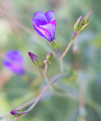 Photograph - Blue-purple Flax Wildflower With Flower Buds by Barbara Rogers Nature Inspired Art Photography