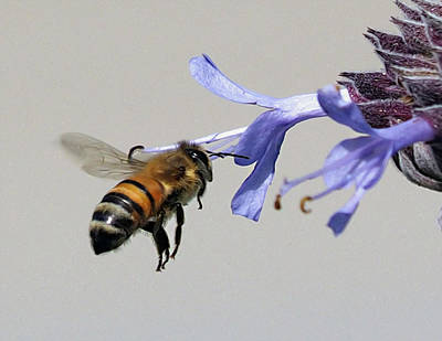Photograph - Blue Sage Bee by Joe Schofield