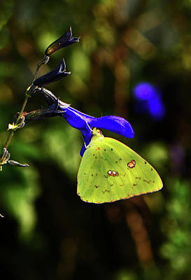 Photograph - Blue Salvia And Cloudless Sulphur Butterfly 005 by George Bostian
