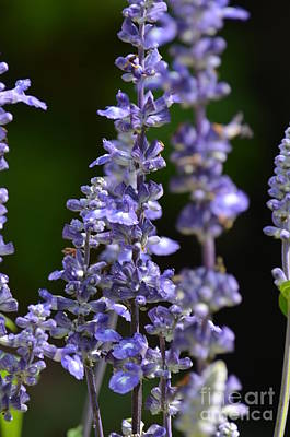 Photograph - Blue Salvia by Maria Urso