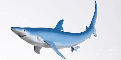 Blue Shark Profile Art Print by Corey Ford