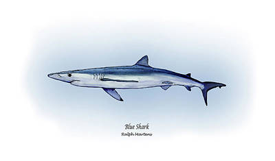 Reef Shark Drawing - Blue Shark  by Ralph Martens