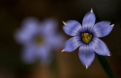 Photograph - Blue Sixpetal by Don Ziegler