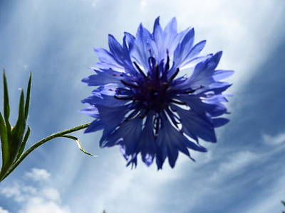 Fushia Photograph - Blue Sky Blue Flower by Tina M Wenger