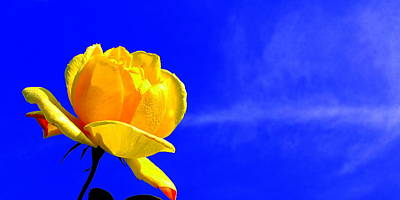Photograph - Blue Sky Rose by Guy Pettingell