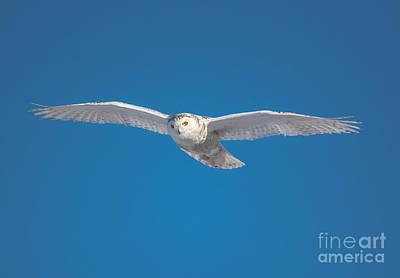 Photograph - Blue Sky Snowy Owl by Cheryl Baxter