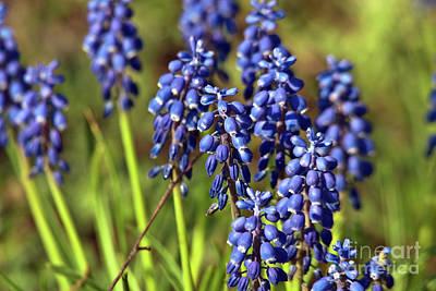 Photograph - Blue Sound Of Spring by Silva Wischeropp
