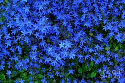 Photograph - Blue Star Flowers by Joan-Violet Stretch