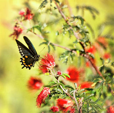 Blue Swallowtail Photograph - Blue Swallowtail On Fairy Duster  by Saija Lehtonen
