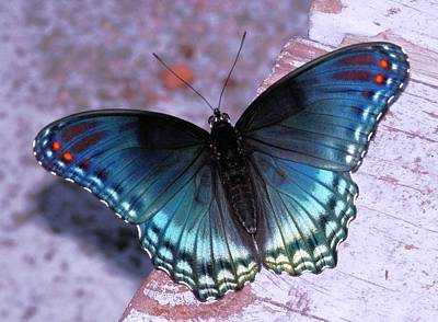 Photograph - Blue Swallowtail Resting by Belinda Lee