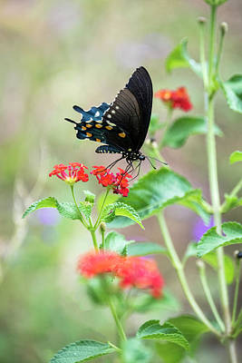 Photograph - Blue Swallowtail  by Saija Lehtonen