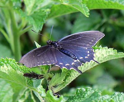 Photograph - Blue Swallowtail by Sean Allen