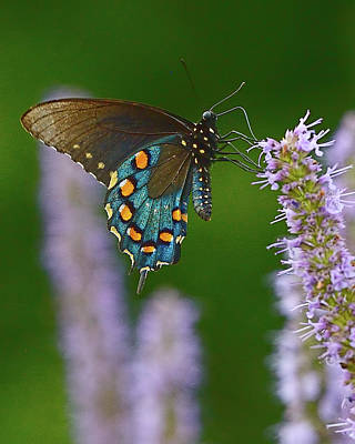 Blue Swallowtail Photograph - Blue Swallowtail by William Jobes