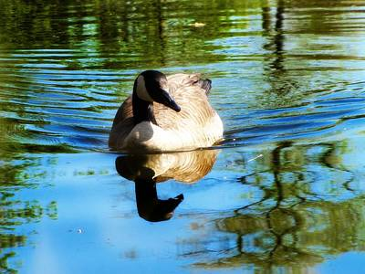 Photograph - Blue Swim by Scott Hovind