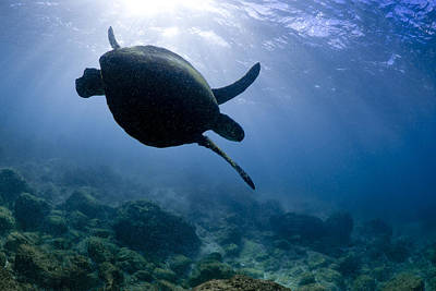 Hawaii Sea Turtle Photograph - Blue Swoop by Sean Davey