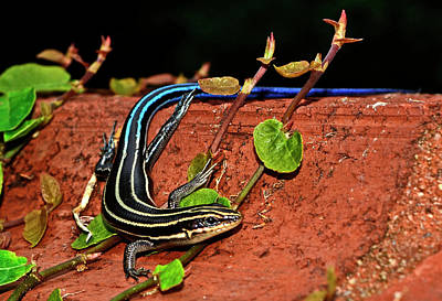 Photograph - Blue-tail Skink 010 by George Bostian