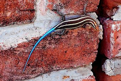 Photograph - Blue Tailed Skink by Dora Hathazi Mendes