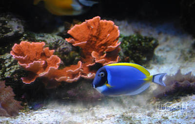Blue Tang Fish And Coral Art Print by DiDi Higginbotham