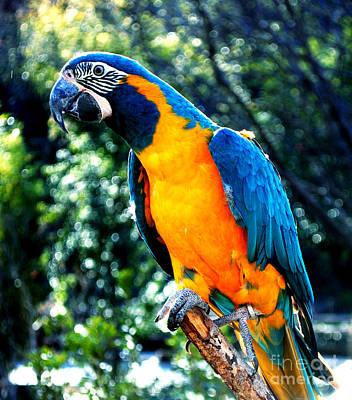 Blue Throated  Macaw 2 Art Print by DiDi Higginbotham