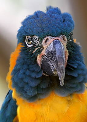 Photograph - Blue-throated Macaw Close-up by Debi Dalio
