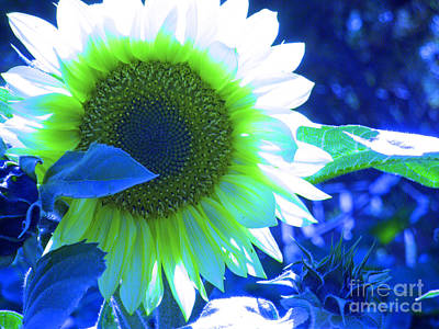 Blue Tinted Sunflower Art Print by Sonya Chalmers