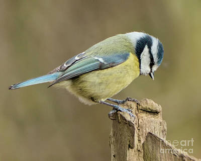 Photograph - Blue Tit 2 by Baggieoldboy