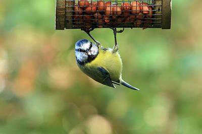 Photograph - Blue Tit At Garden Feeder by Aidan Moran
