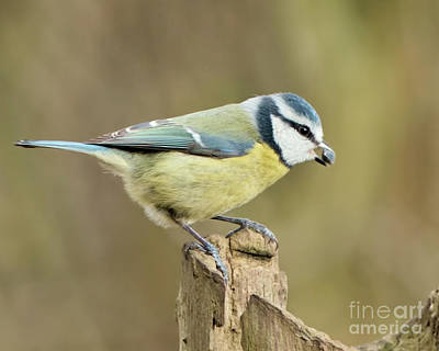 Photograph - Blue Tit  by Baggieoldboy
