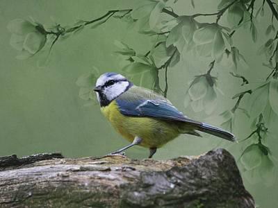 Photograph - Blue Tit Bird by Movie Poster Prints