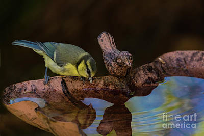 Photograph - Blue Tit Drinking by Brian Roscorla