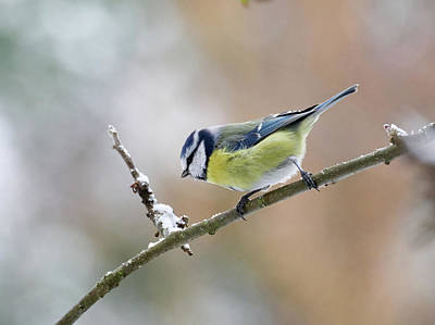 Photograph - Blue Tit In Pastel Colors by Jouko Lehto