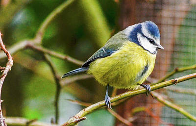 Photograph - Blue Tit by Joe Ormonde