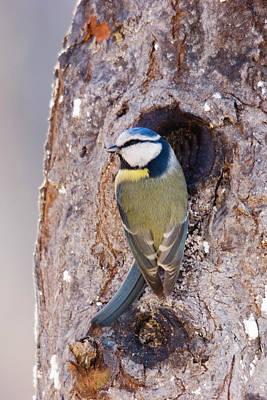 Blue Tit Leaving Nest Print by Cliff Norton