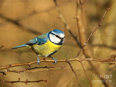 Photograph - Blue Tit by Lisa Cockrell