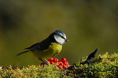 Photograph - Blue Tit by Macrae Images