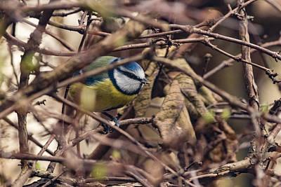 Photograph - Blue Tit by Matt Malloy