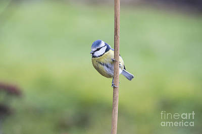 Blue Tit On A Garden Cane Art Print