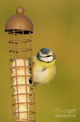 Photograph - Blue Tit On Feeder by Steev Stamford