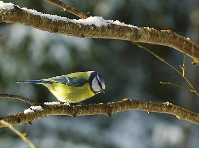 Photograph - Blue Tit by Richard Stephen