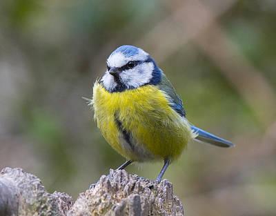 Photograph - Blue Tit by Steven Poulton