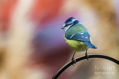Photograph - Blue Tit Uk by Adrian Evans