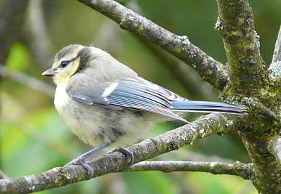 Photograph - Blue Tit by Valerie Ornstein