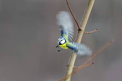 Photograph - Blue Tit In Flight by Boyce Fitzgerald